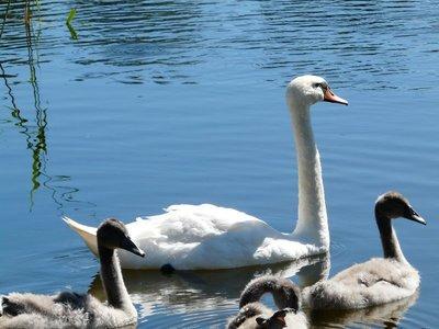 Swan family, Ginučiai
