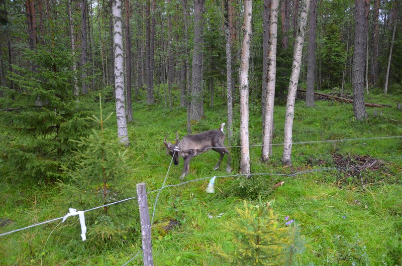 Stuck reindeer, south of Vilhelmina
