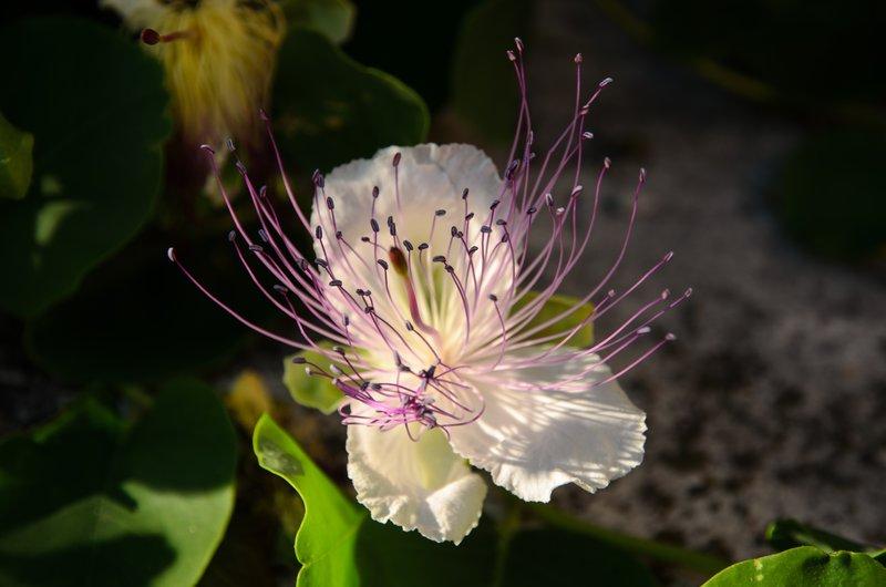 Caper flower, Piran