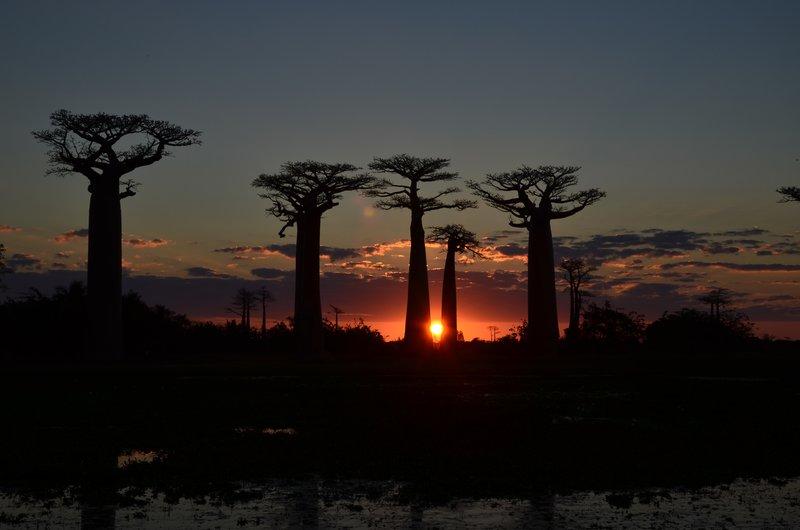 Baobab Alle at sunset