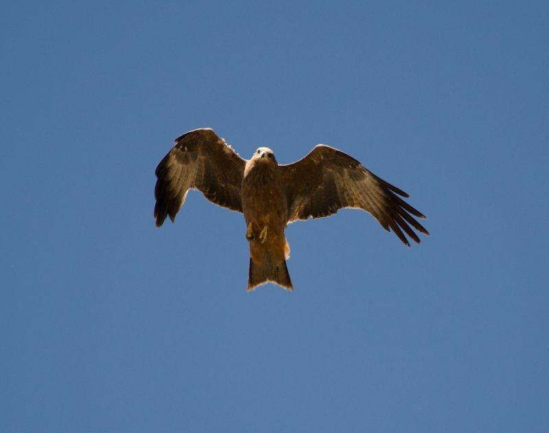 Kestrel, Andringitra National Park