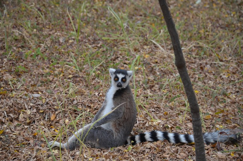 Seated Ring-Tailed lemur, Camp Catta