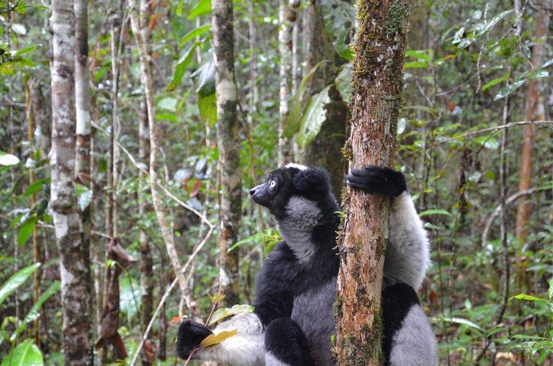 Indri, Mitsinjo Park