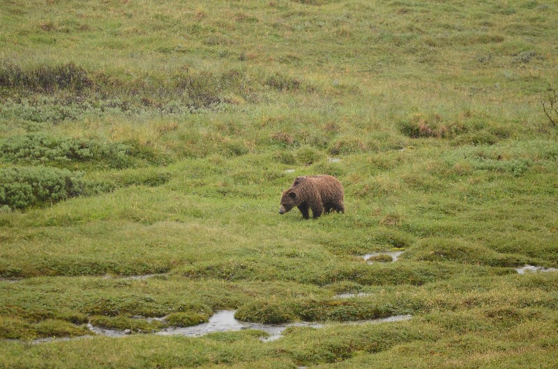 Bear near Eielson Visitor Center