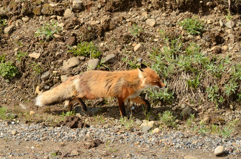 Red fox, Denali NP