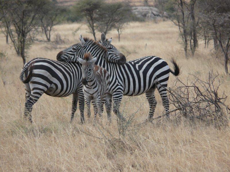 Zebra family