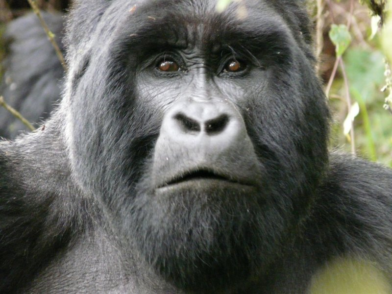 Male Gorilla Closeup