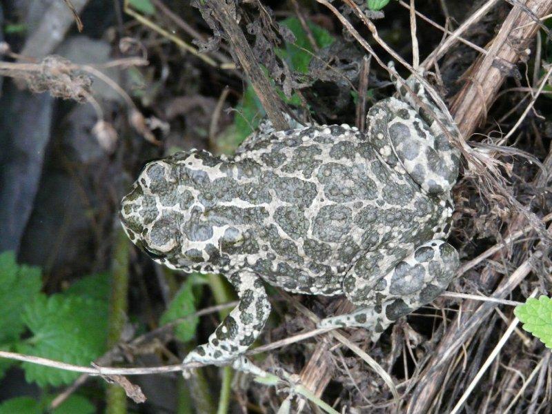 Frog, Dartlo