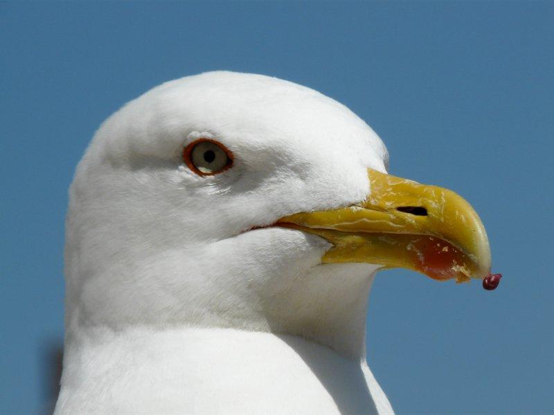 Roman (?) seagull