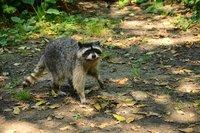 Raccoon, Stanley Park