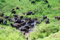 Buffalos in the Bath