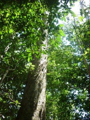 towering trees