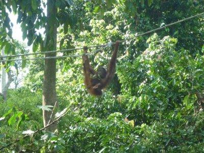 Orangatan on rope 2
