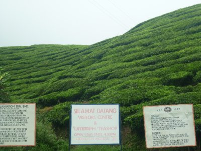 Tea hill side