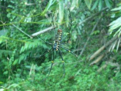 Malaysian death spider