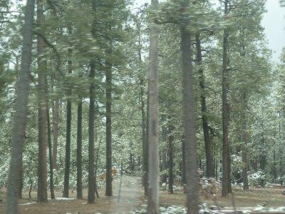 Pine Forest Northern AZ