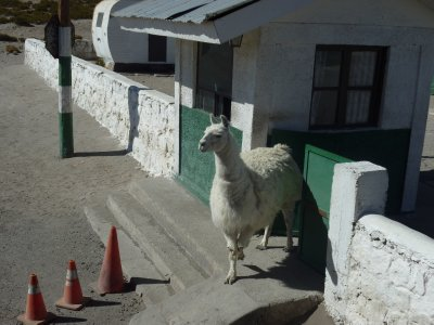 Llama greeting at the border