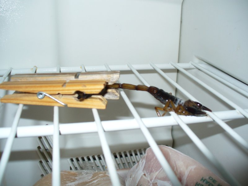 scorpio in frigo
