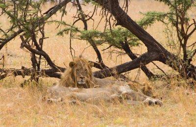 2_male_lions.jpg