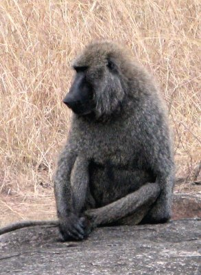 Baboon_Cross_Legged.jpg