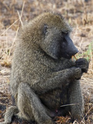 Baboon_Eating.jpg