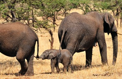 Baby Elephant Catching Brother&#39;s Tail-North Serengeti