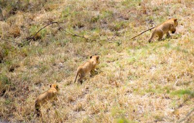 Cubs Walking Uphill-North Serengeti