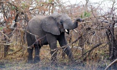 Elephant_Pulling_Tree.jpg
