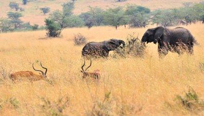 Elephant_and_Impala.jpg