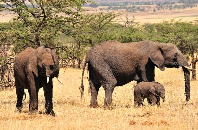 Elephant_family.jpg
