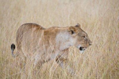 First_Lionaa.jpg