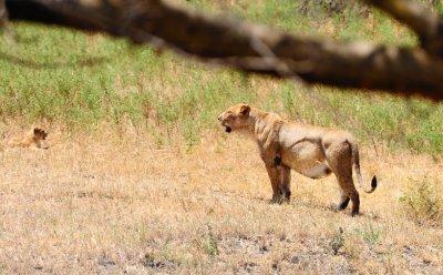 Full_Lion.jpg