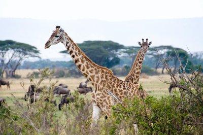 Giraffe_an..beestaa.jpg