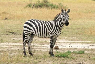 Zebra in Mara Triangle