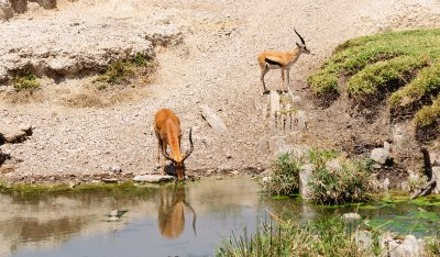 Impala Drinking-North Serengeti