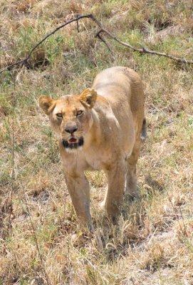 Lion_Stare.jpg