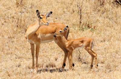 Mama and Baby Impala-North Serengeti