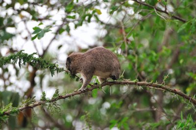 Tree_Hyrax.jpg