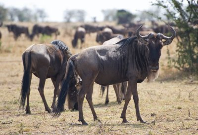 Wildebeest..Riveraa.jpg