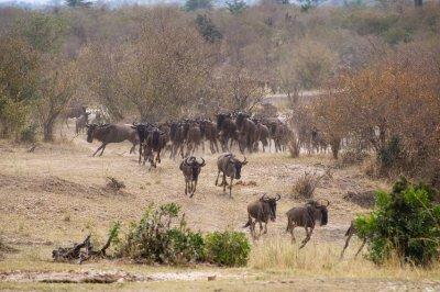 Wildebeest_Runningaa.jpg