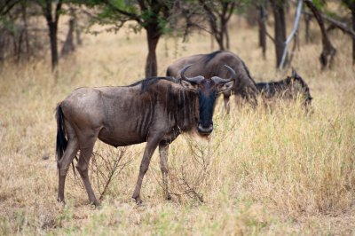 Wildebeest in West Serengeti