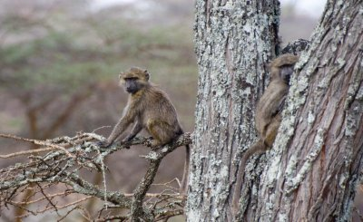 baby_baboons_in_tree.jpg