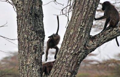 baby_baboons_jumping.jpg