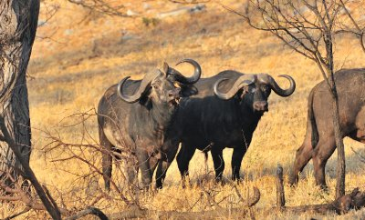Cape Buffalo In Early Morning