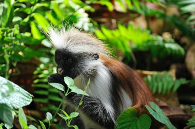 colobus_re.._monkey.jpg