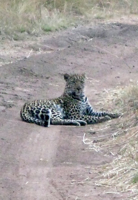 Leopard Waiting for Baby Wildebeest