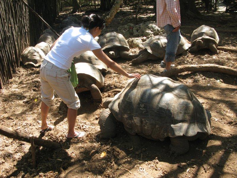 Prison Island Tortoise
