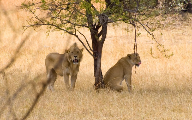 Lions Ready to Mate-North Serengeti