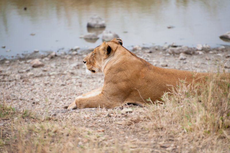 Lion Waiting By the River