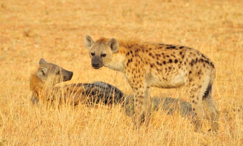 Hyena in Early Morning